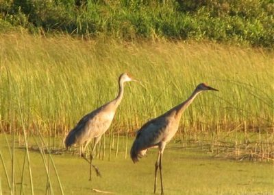 Crane migration in Ontario