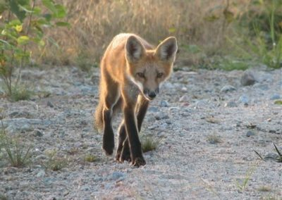 red fox on road with sunlight
