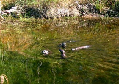 Wildlife of Ontario Otters