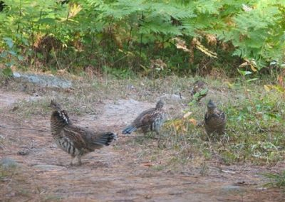 ontario grouse hunting