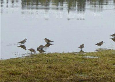 ontario migration of shoreline birds