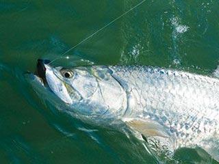 siesta key tarpon fishing