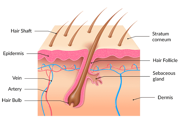 structure of the hair