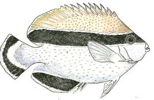 bandit-angelfish