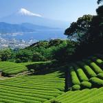 Mt Fuji Behind Tea Field