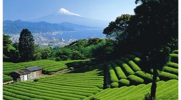 Tea Growing Regions of Japan