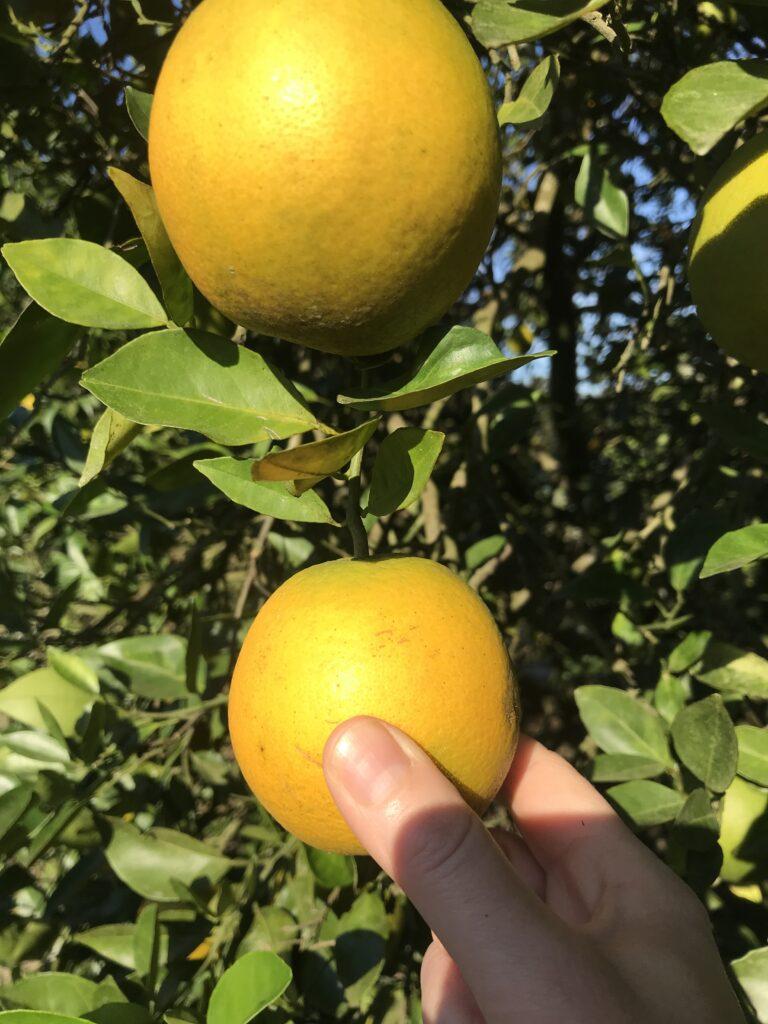 Flroida Oranges