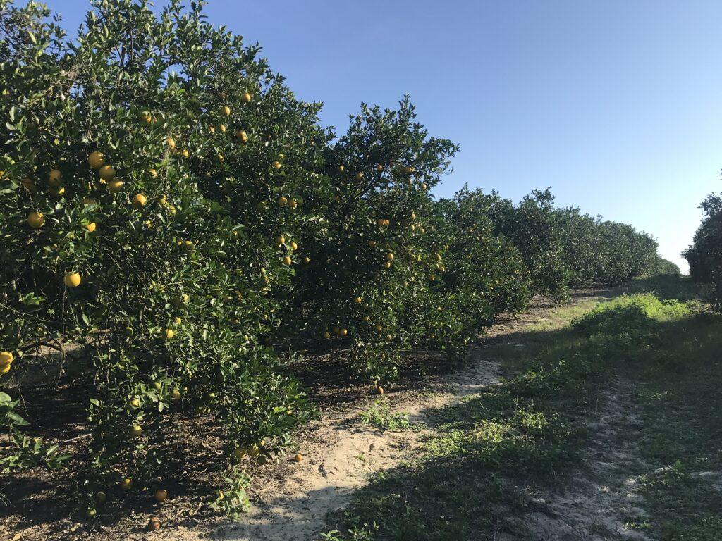 Flrorida citrus