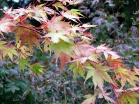 Sangu Kaku Japanese Maple