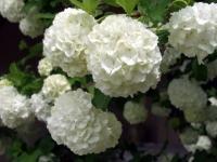 Snowball Viburnum