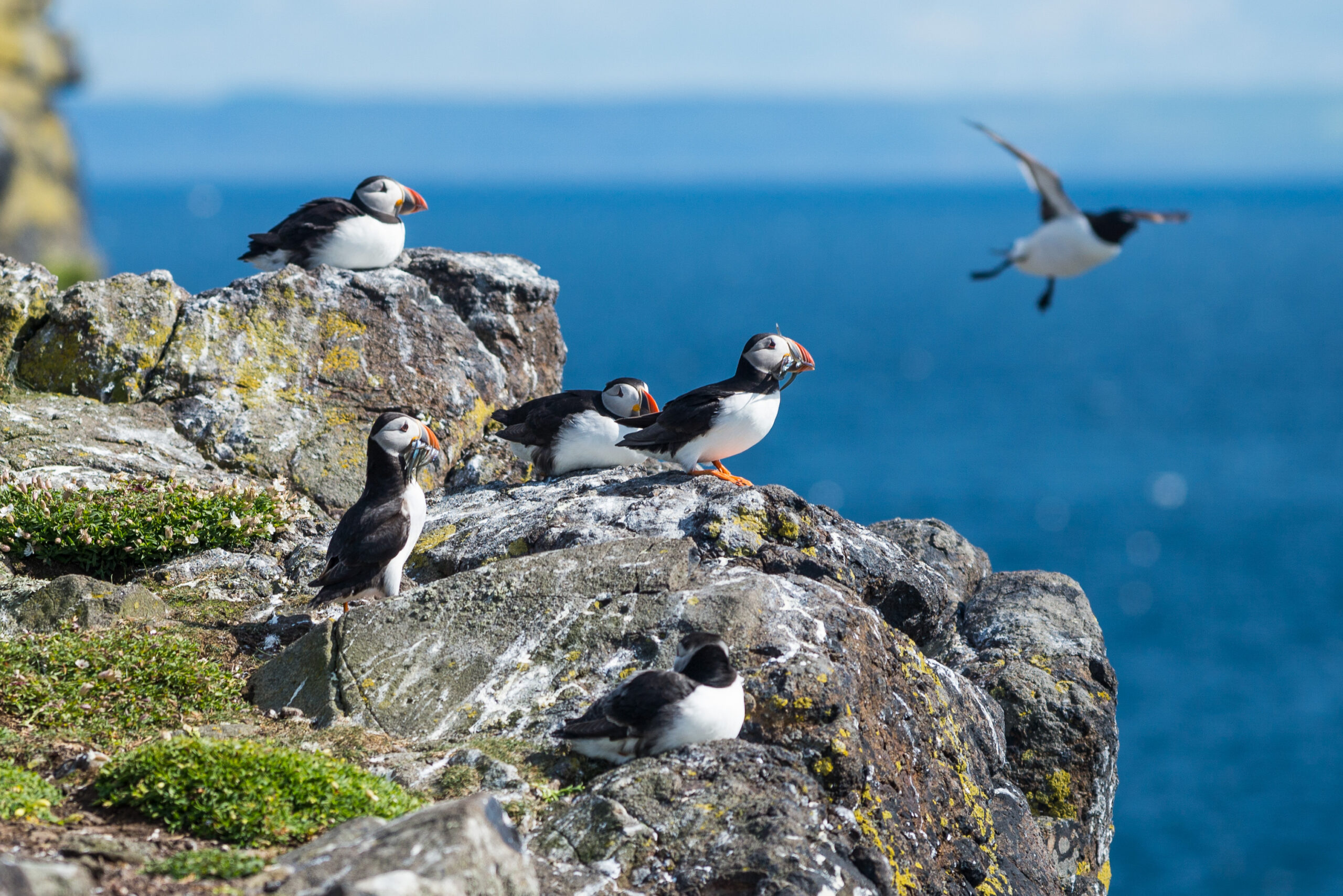 Puffins on the Isle of May Pic VisitScotland / Kenny Lam
