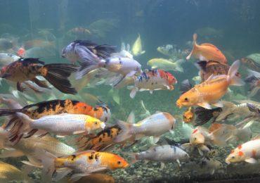 Goldfish: Little Pet, Big Problem