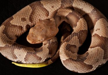Getting to Know Your Reptiles: Copperheads