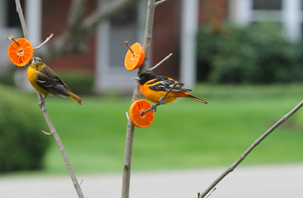 orioles eating orange slices