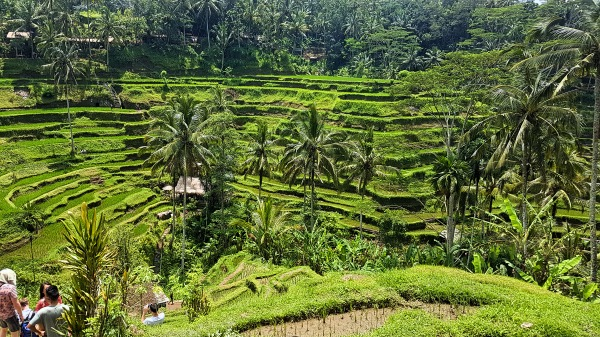 Tegallalang Rice Terrace Guide