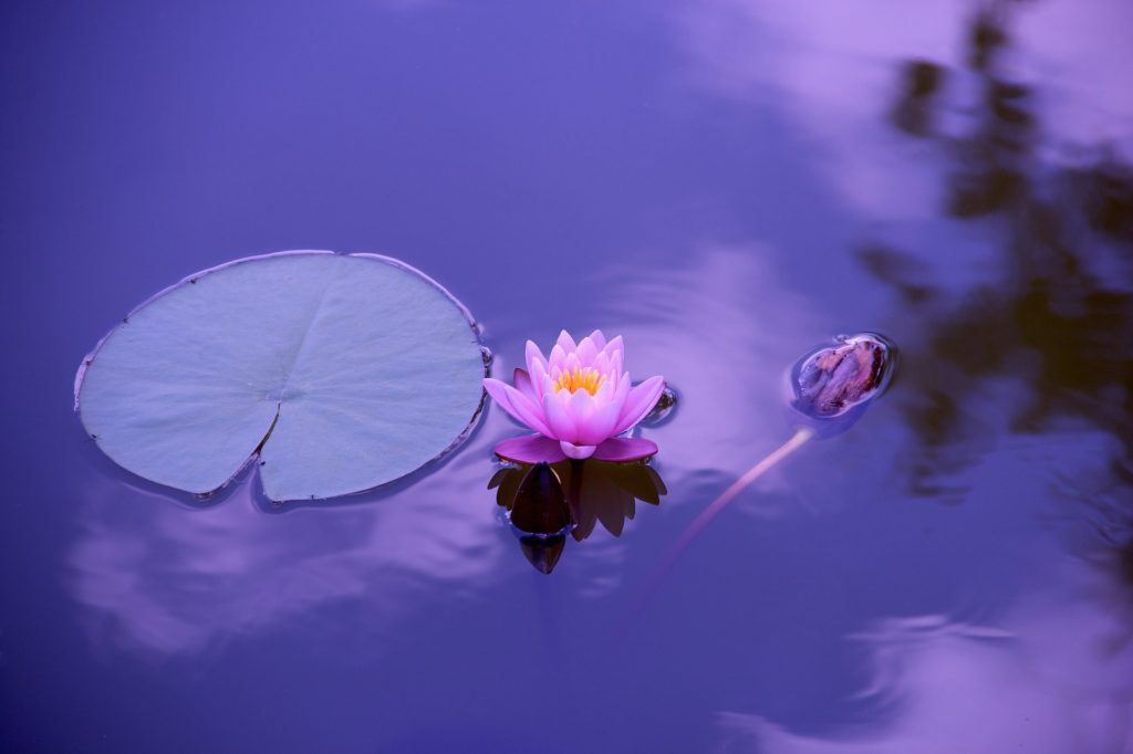 purple lotus flower and pad floating in pond