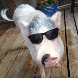 Happy pig wearing sunglasses