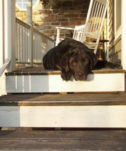 black lab on the porch