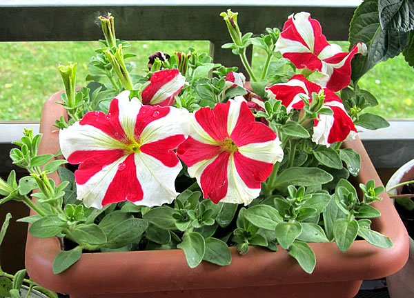 petunia with peppermint stripes