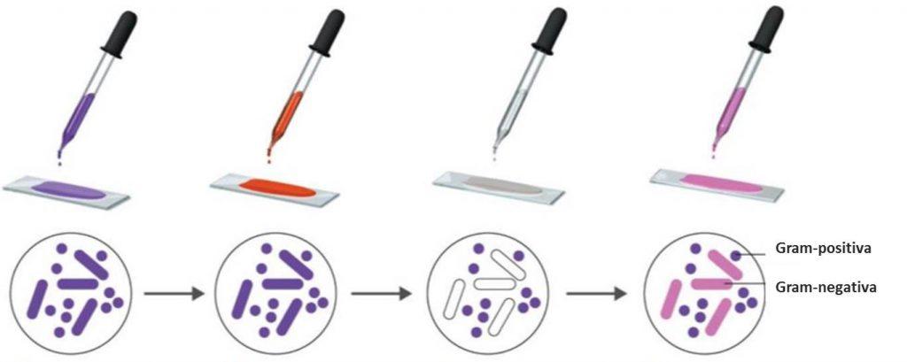 método  de coloração de gram