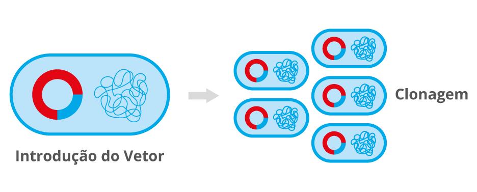 Introdução do vetor no organismo e clonagem molecular