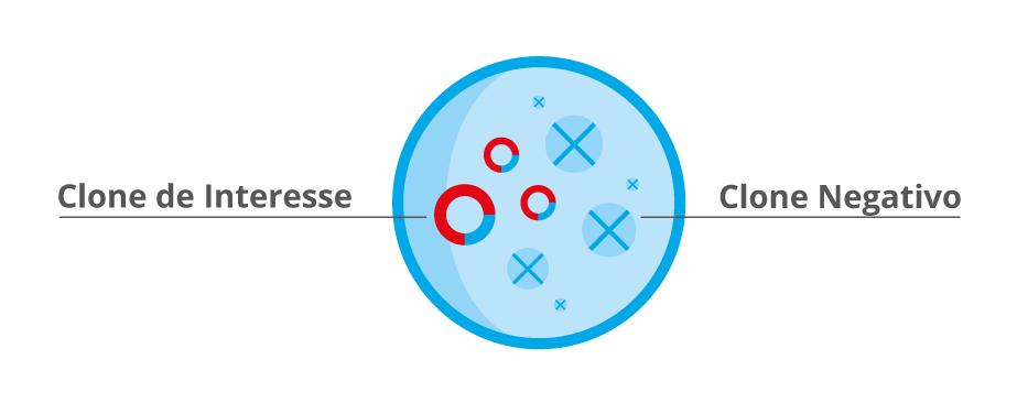 Seleção dos clones recombinantes