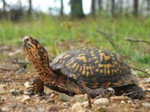 box-turtles-300x224