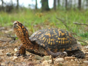Turtle (Totem)Tales