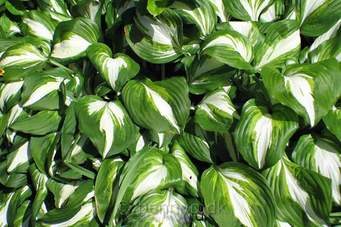 Close up photo of hostas