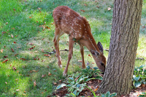 A deer eating hostas