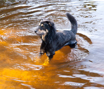 Beware, Leptospirosis In Dogs Is On The Rise!