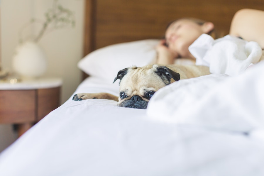 health-summer-heat-bed-dog-pug-tips-sleep-testing-study-apnea-snoring-amerisleep-treatment-diagnostics