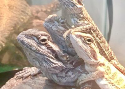 Juvenile Bearded Dragons