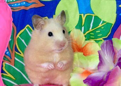 Shorthair Hamsters