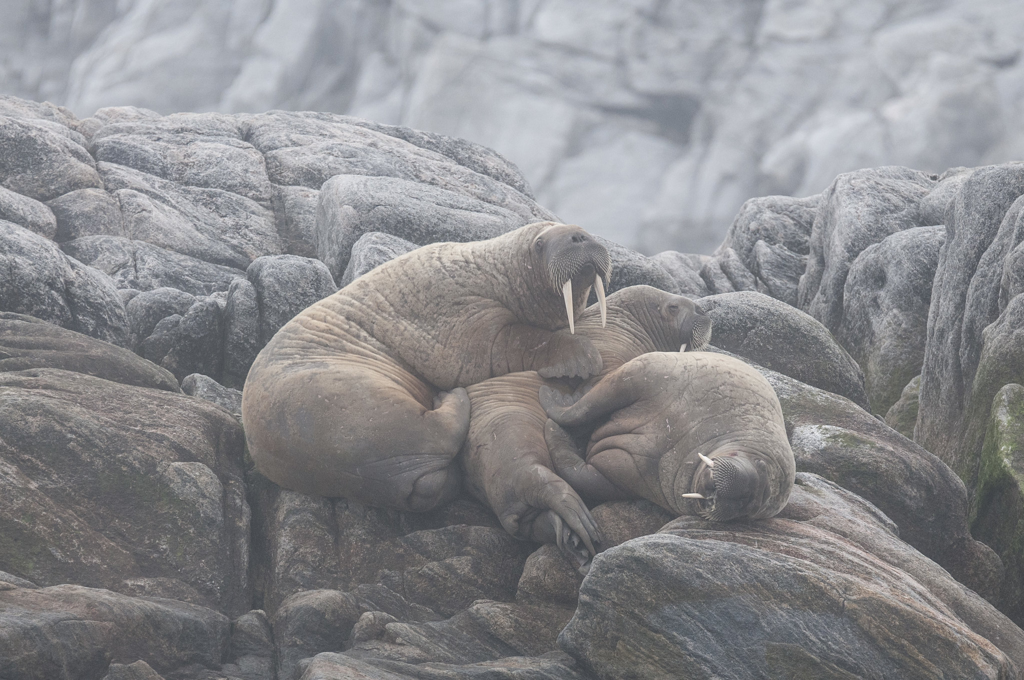 These Walruses are Fucked
