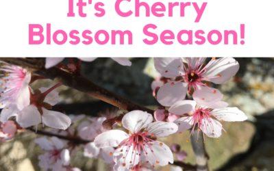 It's Cherry Blossom Season!