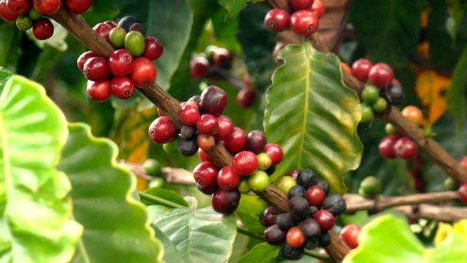 En Colombia se cosecha café arábica.