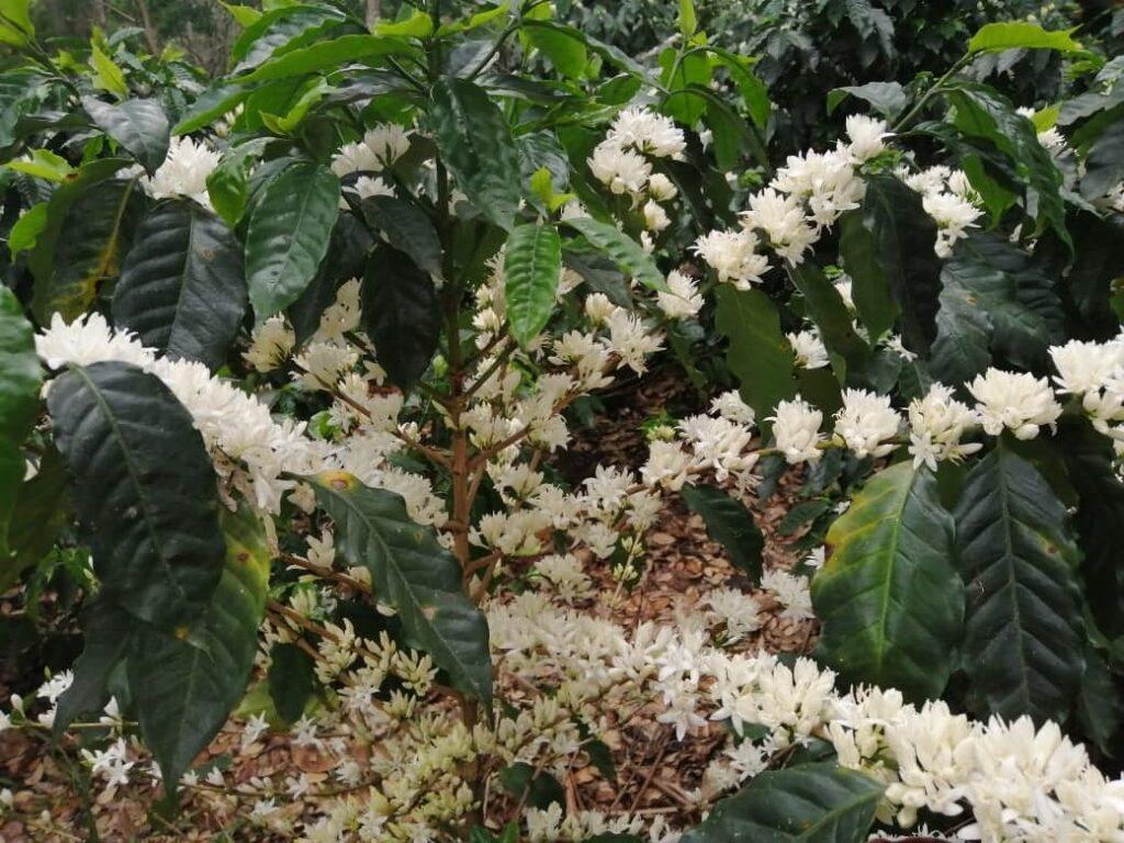 Café sostenible. Agricultura  sostenible
