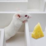 Rat in maze (Skinner box)
