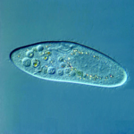 Single-celled organism (Paramecium caudatum)