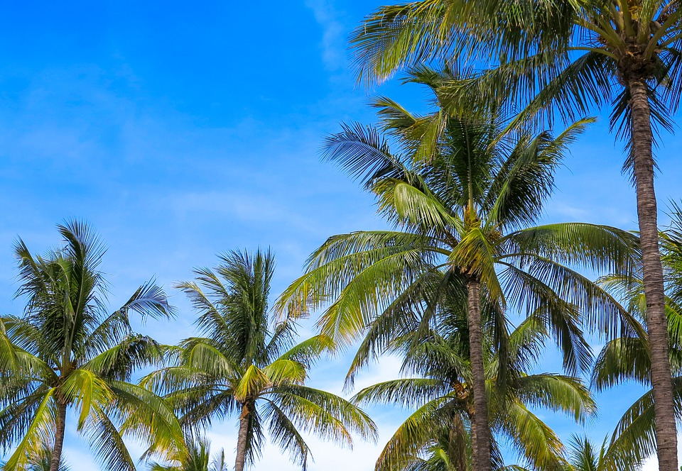 sarasota-siesta-key-palm-tree-care