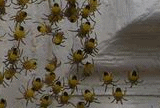 spiders hatching