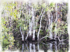 Everglades trees_001
