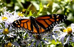 Solo monarch butterfly_5017