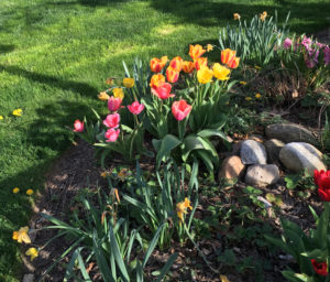 tulips_4673