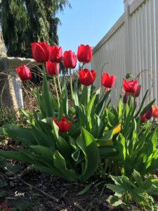 tulipsphoto_4662