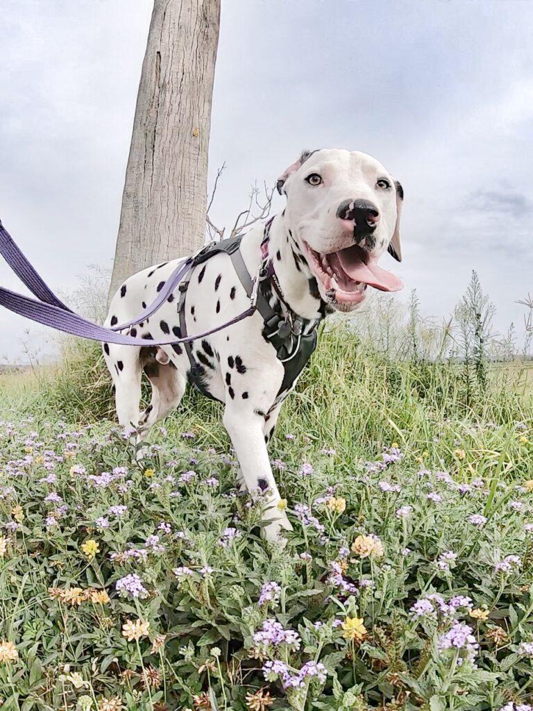 Dalmatian dog walking in amongst flowers