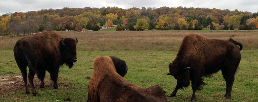 Bison in Wisconsin