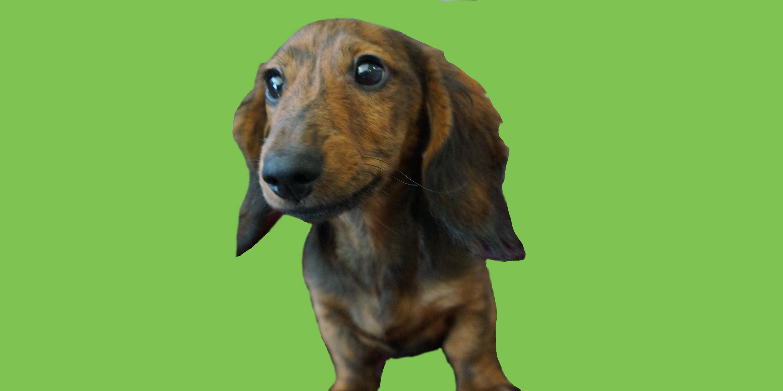 Dog of the Week: Ziggy