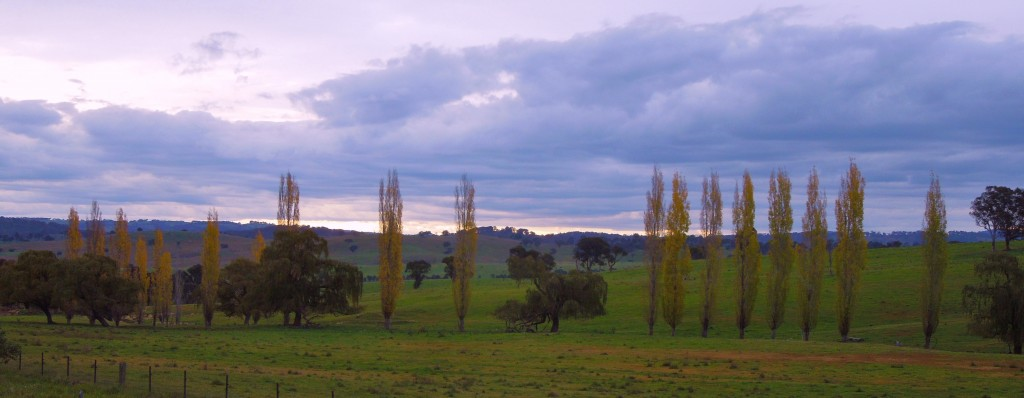 Poplars and willows north of Armidale